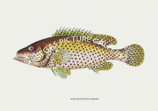 Perch, Red Spotted